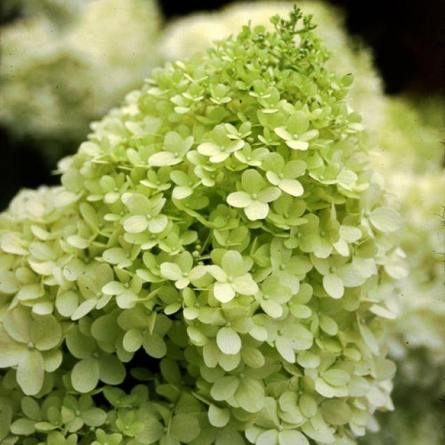 Гортензия Лаймлайт (Limelight) Красивоцветущие растения, декоративный кустарник, гортензия