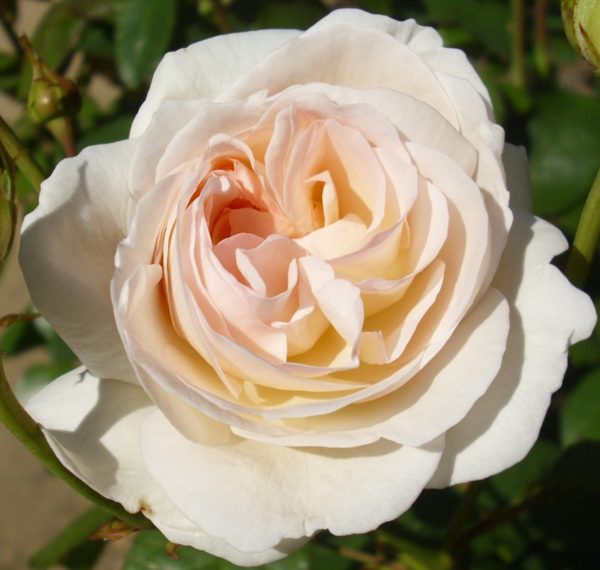 Роза Лионс роуз Lions Rose