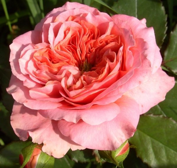 Роза Мери Энн Mary Ann