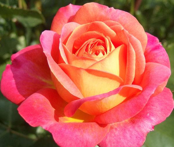 Роза Мидсамер Midsummer
