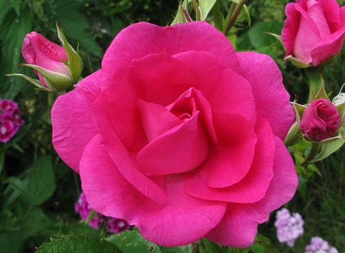 Роза Морден Сентенниал (Morden Centennial) малиновые розы, парковая роза, сильнорастущая
