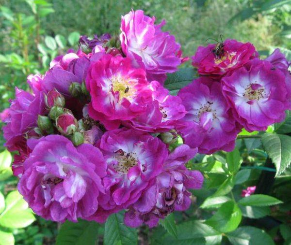 Роза Перениал Блю Perennial Blue