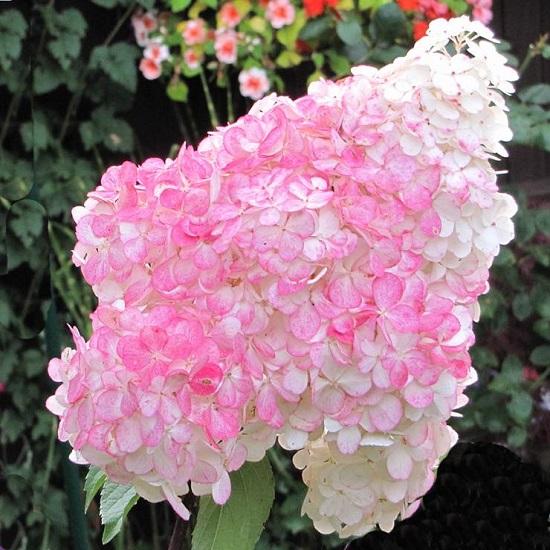 Гортензия Пинк Леди (Pink Lady) Красивоцветущие растения, декоративный кустарник, гортензия
