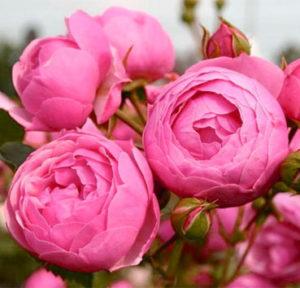 Роза Помпонелла Pomponella