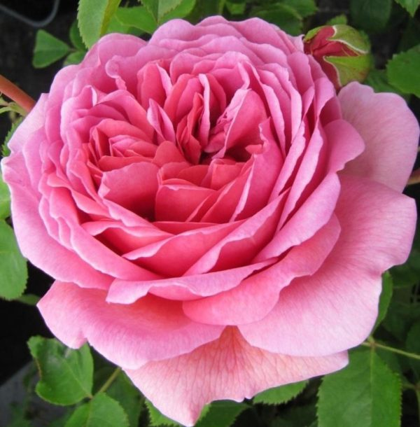 Роза Принцесса Александра оф Кент Princess Alexandra of Kent