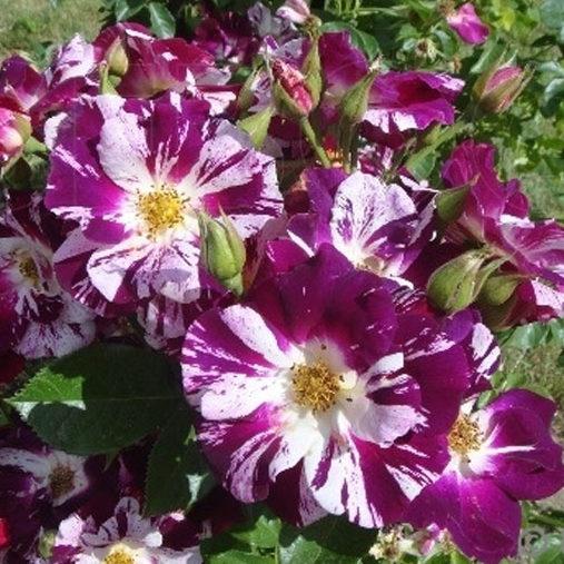 Роза Пурпл сплэш Purple Splash