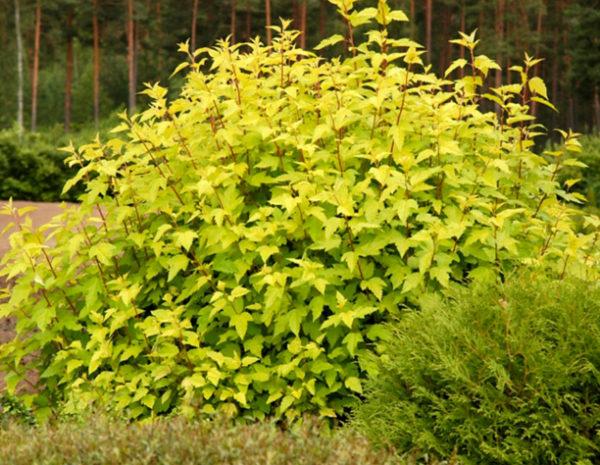 Пузыреплодник Дартс Голд Physocarpus opulifolius Dart's Gold