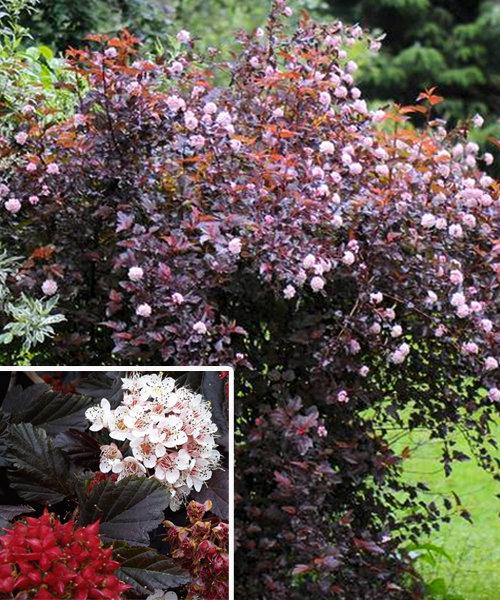 Пузыреплодник Ред Барон Physocarpus opulifolius Red Baron Декоративные кустарники