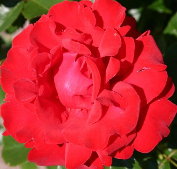 Роза Ребелл Rebell