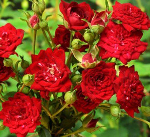 Роза Ред Каскад Red Cascade
