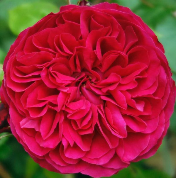 Роза Рэд Леонардо да Винчи Red Leonardo da Vinci