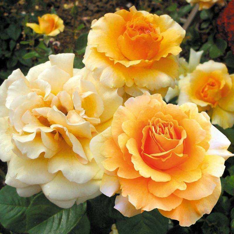 Роза Гарден Глори (Garden Glory) для срезки, чайно-гибридные розы, абрикосовые розы