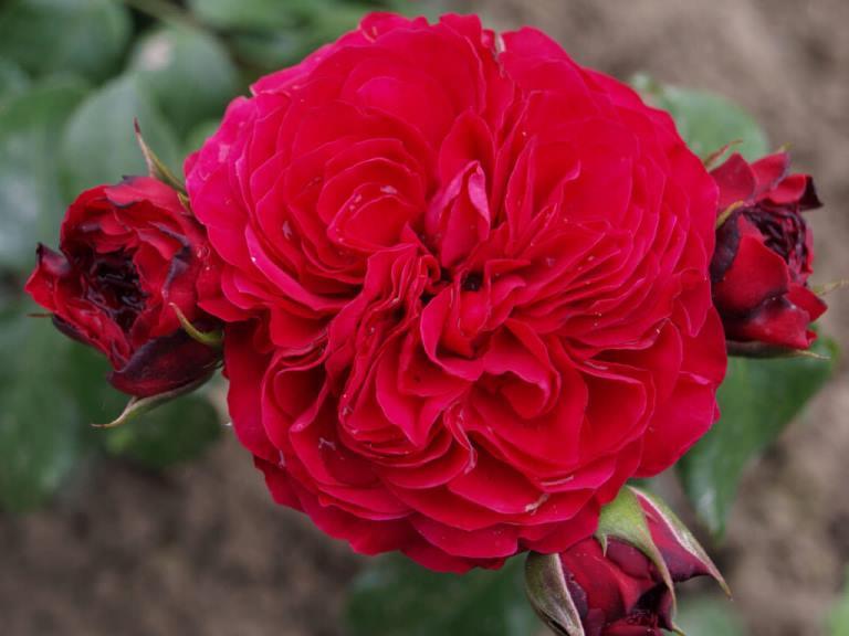 Роза Рэд Леонардо да Винчи (Red Leonardo da Vinci) устойчивая к болезням, красные розы, флорибунда