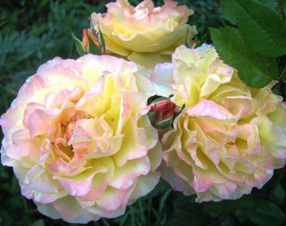 Роза Ругельда (Rugelda) желтые розы, устойчивая к болезням, шрабы