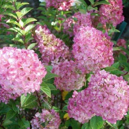 Гортензия Сандей Фрайз (Sundae Fraise) декоративный кустарник, гортензия, цветущий кустарник