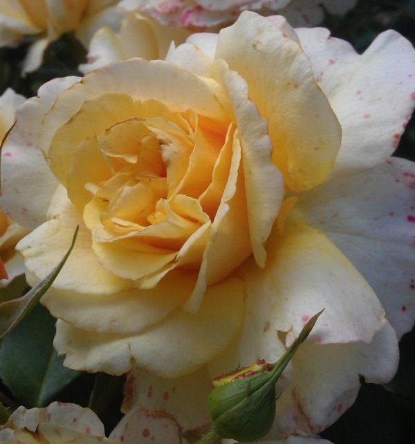 Роза Санни Скай Sunny Sky