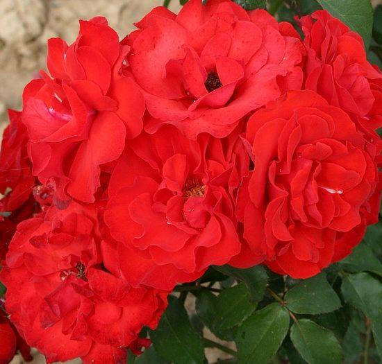 Роза Сачмо (Satchmo) привито на штамбе, красные розы