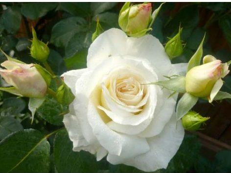 Роза Шнивальцер (Schneewalzer) плетистые розы, устойчивая к болезням, белые розы