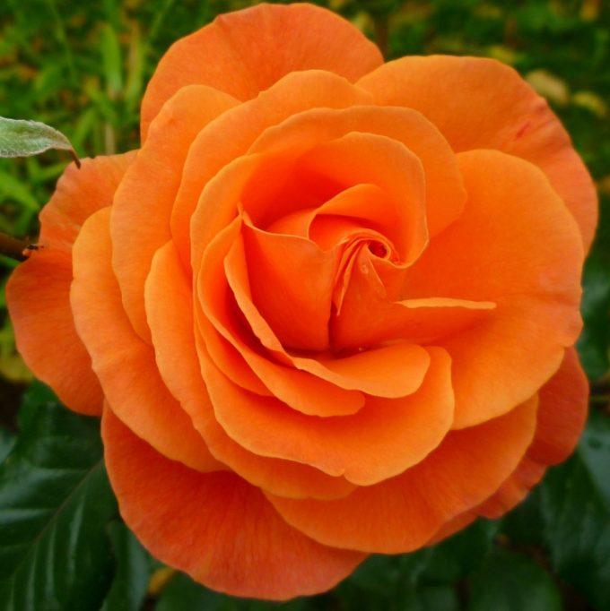 Роза Супер Трупер (Super Trouper)