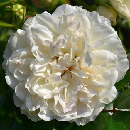 Роза Свани (Swany) штамбовая