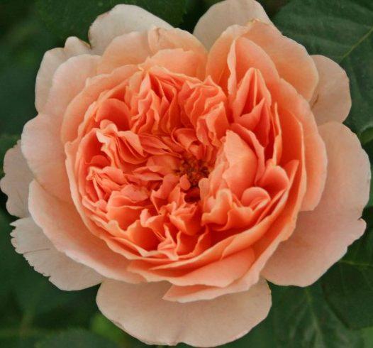 Роза Теа Клипер Tea Clipper ароматные, устойчивая к болезням, шрабы, абрикосовые розы, квадратированные