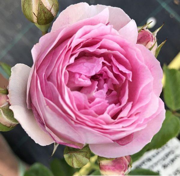 Роза Весалиус Vesalius