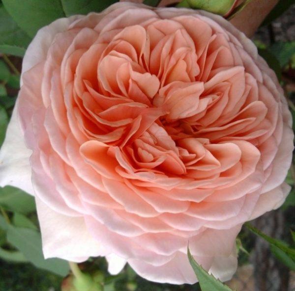 Роза Вильям Моррис William Morris