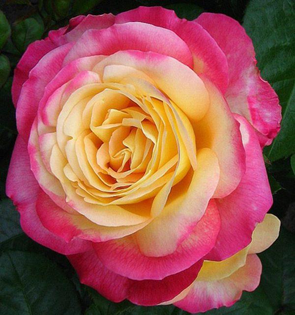 Роза Восточный экспресс Pullman Orient Express
