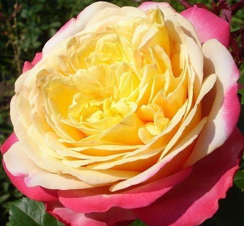 Роза Юбилей Кордеса Kordes' Jubilee