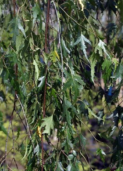 Береза бородавчатая Грацилис Betula pendula Gracilis