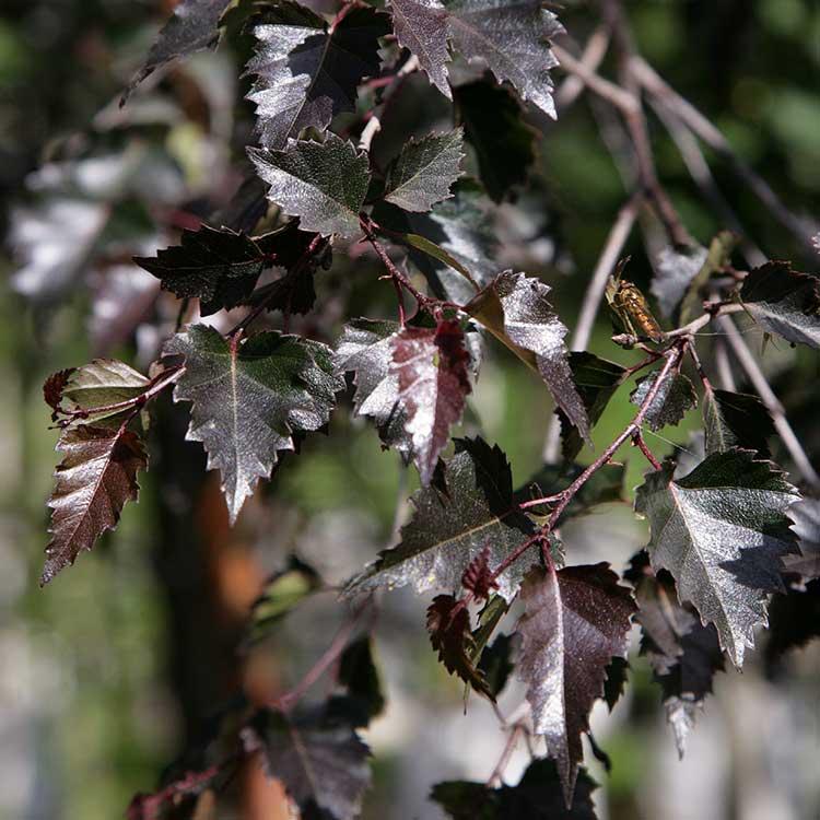 Береза бородавчатая Пурпуреа Betula pendula Purpurea