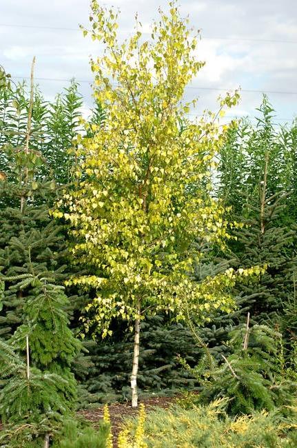 Береза пушистая Ауреа Betula pubescens Aurea