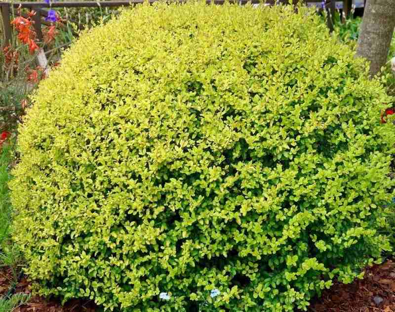 Бирючина круглолистная Ауреум (Ligustrum ovalifolium Aureum)
