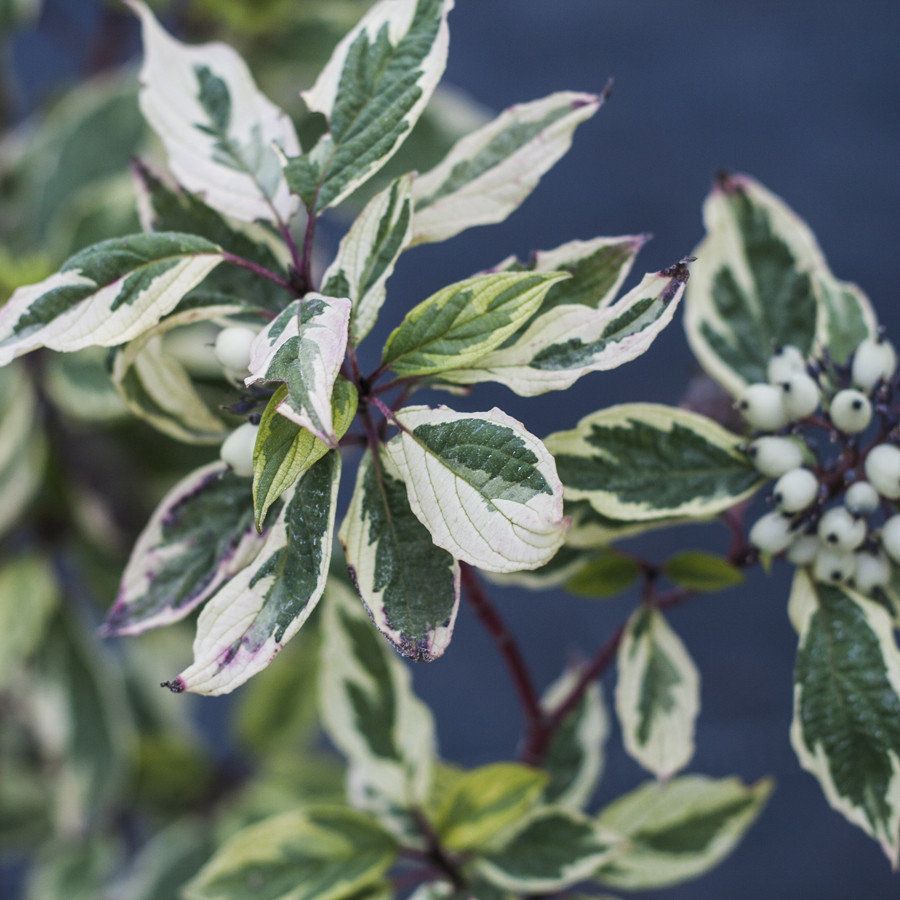 Дерен белый 'Сибирика Вариегата' декоративный кустарник, живая изгородь, для городского озеленения, пестролистная форма, дерен