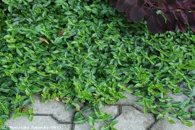 Бересклет Форчуна Колоратус (Euonymus fortunei Coloratus) декоративный кустарник, стелящийся, нетребовательны, для городского озеленения, зеленая листва, бересклет