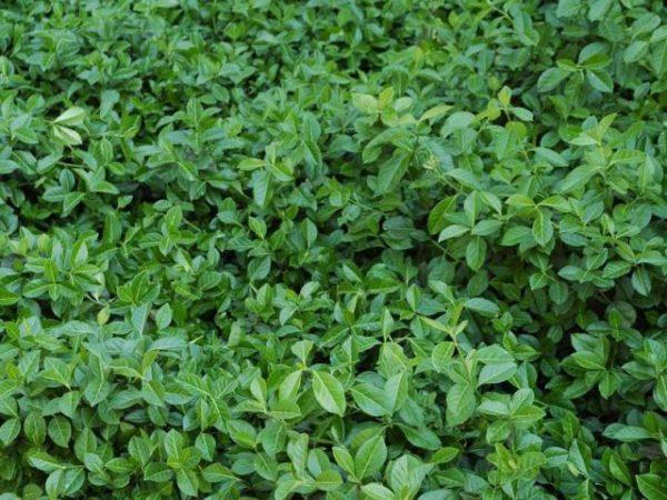 Бересклет Форчуна Колоратус Euonymus fortunei 'Coloratus'