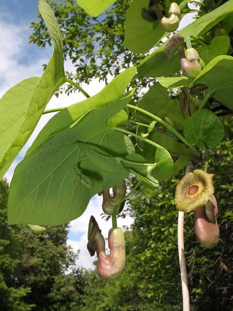 Кирказон крупнолистный Aristolochia macrophylla