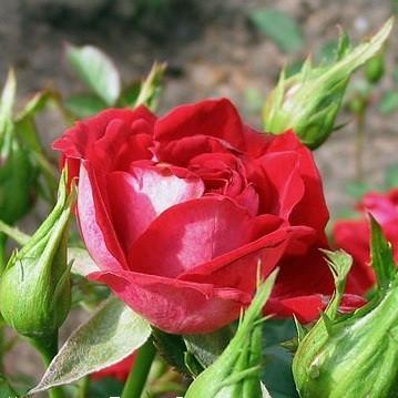 Роза Мейди (Maidy) с2