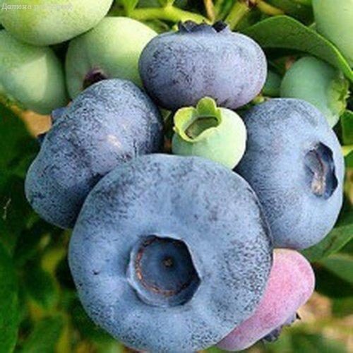Голубика Патриот ягодные кустарники, ягода, голубика