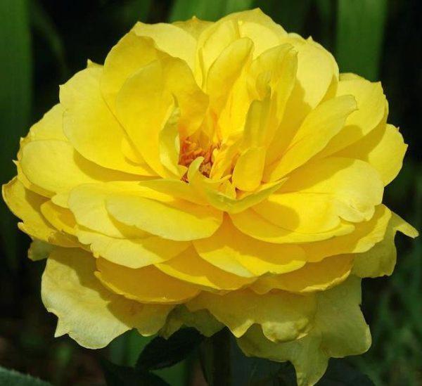 Роза Шанни (Shanni)