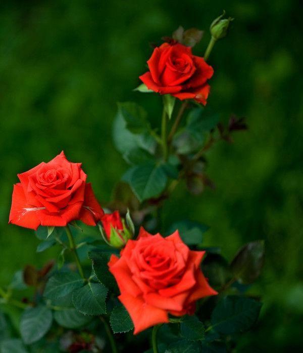 Роза Скарлет Мерседес (Scarlet Mercedes)