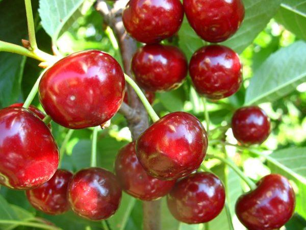 Вишня 'Славянка' Славянка, Крупноплодная вишня