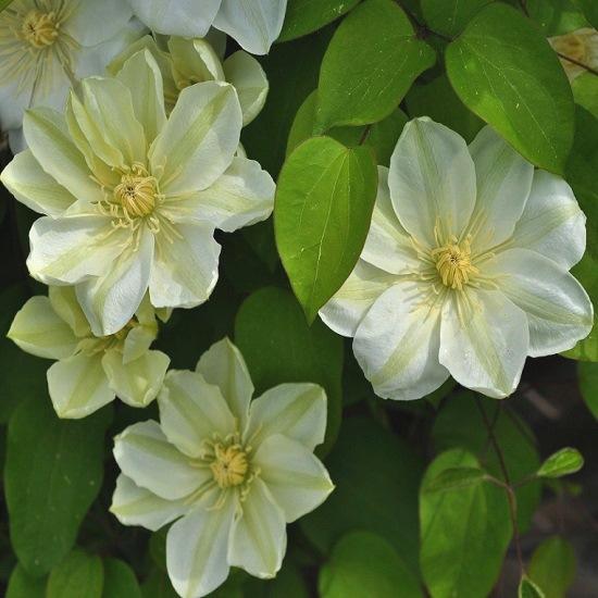 Клематис Гернси Крим (Guernsey Cream) лианы, вьющиеся растения, клематисы