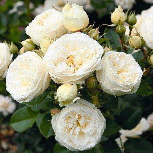 Роза Артемис (Artemis)