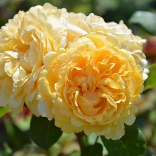 Роза Белла ди Тоди (Bella di Todi)