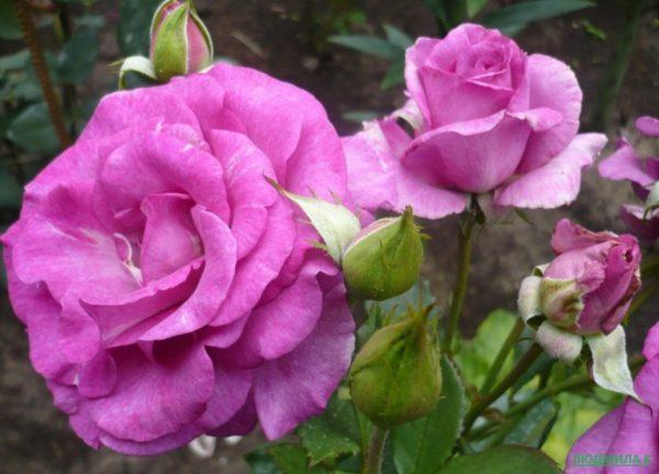 Роза Блю Парфюм (Blue Parfum)