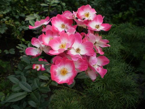 Роза Букаву (Bukavu) - бабочка непрерывноцветущая, двухцветные розы, флорибунда, бабочки