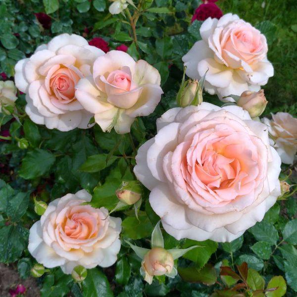 Роза Чандос Бьюти (Chandos Beauty)