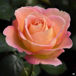 Роза Эль (Elle)