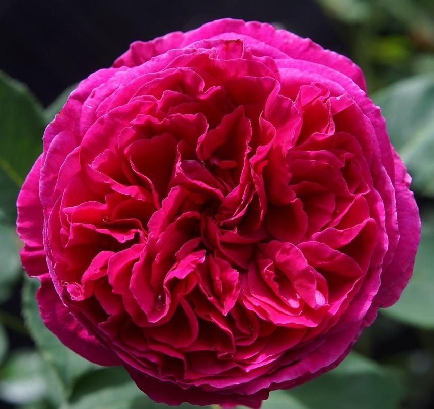 Роза Фальстафф (Falstaff)